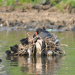 3 day old moorhen chicks at the nest
