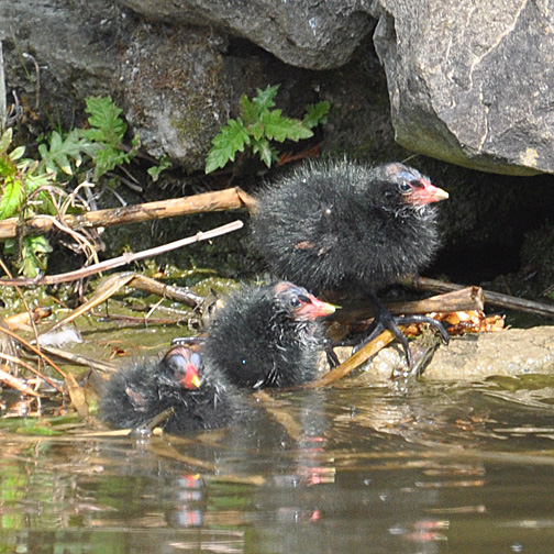 4 day old moorhen chicks.