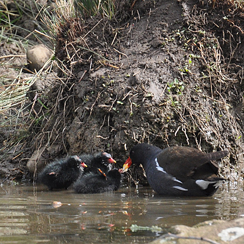 8 day old moorhen chicks, continue frequent feeds by the adults.