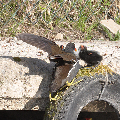 10 days old moorhen chick. It climbed that tyre to get to the top.  Those big feet come in handy.