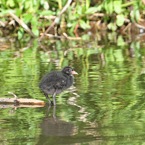 18 day old moorhen chick.  Note that the red on the beak is fading.