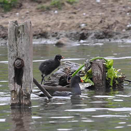 19 day old moorhen chick