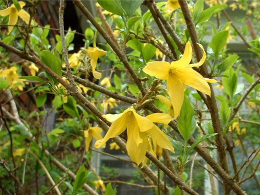 Forsythia - in transition - photo by timorous