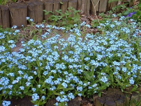 Forget-Me-Nots - photo by timorous