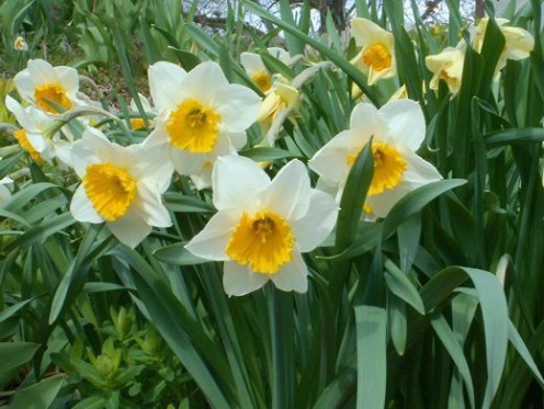 Daffodils - photo by timorous