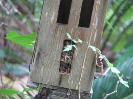 Prothonotary nest in old butterfly shelter