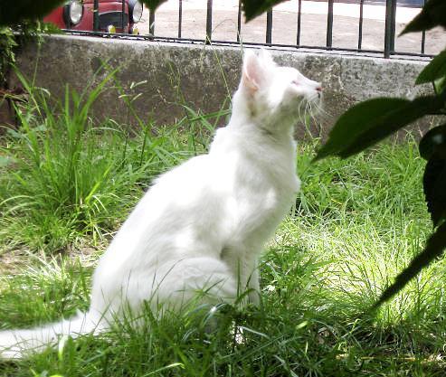 White Turkish Van Cat