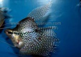 Yes, a deformed gourami