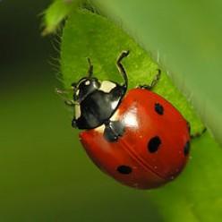 Itty Bitty Ladybug