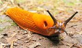 Slugs - Interesting Facts, Mucus Slime and Pest Control