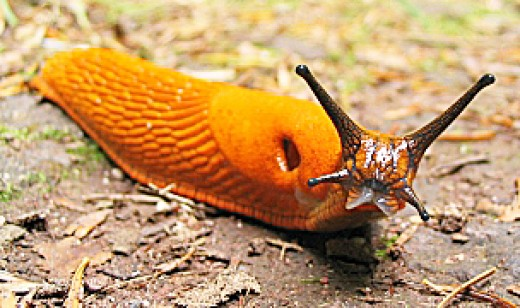 Arion rufus, the red slug