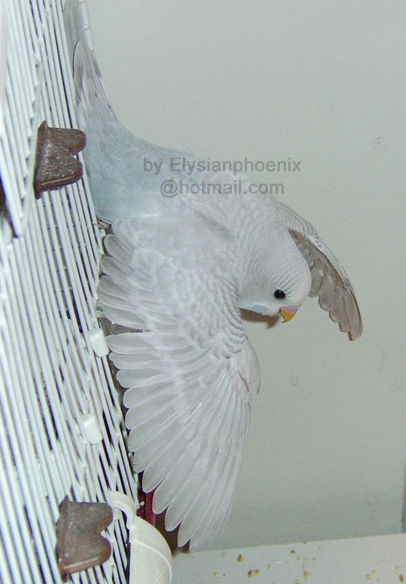 A budgie learning to fly can easily injure itself!
