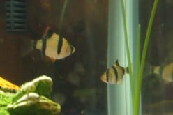 Great Aquarium Fish- Tiger Barb