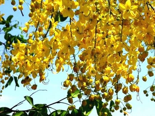 Indian Laburnum  - Cassia fistula