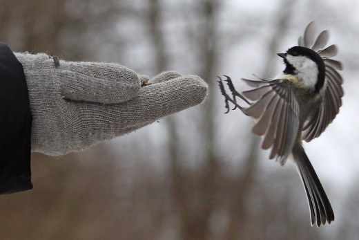Black-capped Chickadee landing on gloved hand.