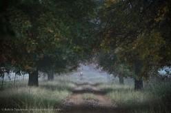Oak avenue in the morning mist