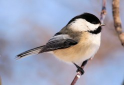 Chickadees: An Illustrated Guide to the Black-Capped Chickadee (Poecile atricapillus; formerly Parus atricapillus)