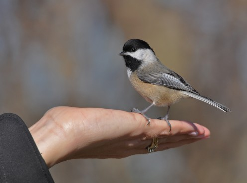 Black-capped Chickadee perching on a hand.