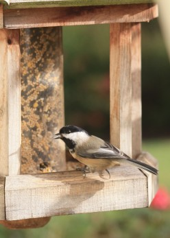 Black-capped Chickadees are a familiar sight at bird feeders across America.