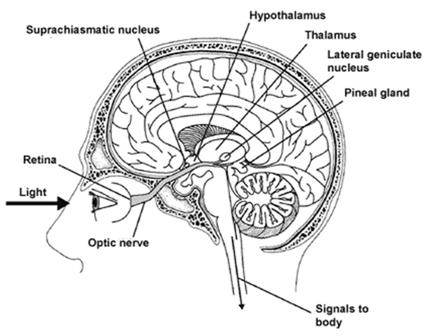 Location of the suprachiasmatic nucleus with respect to where the optic nerve crosses from one side of the cranium to the other side its way to the brain.
