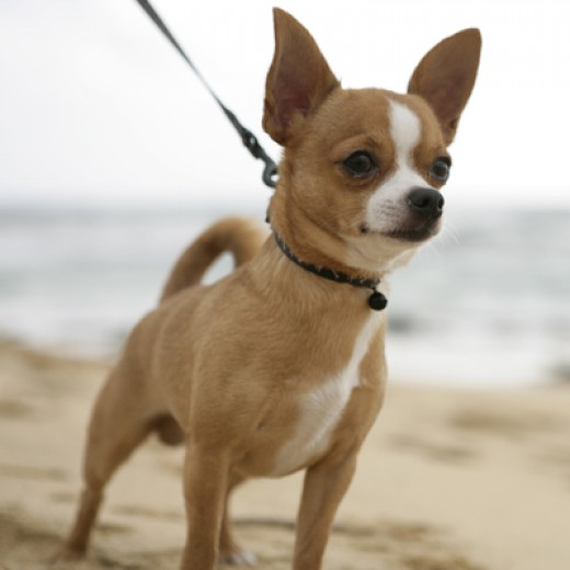 Chihuahua Dog.  Picture from Google Images.