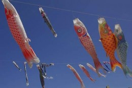 Koinobori - Special colored pennants in the shape of carp. The largest carp, usually black, representing father, a smaller, red, mother, another carp in the colors of purple, blue, green, represent more children in the family.