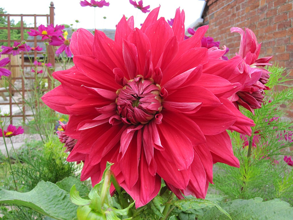 how to grow dwarf dahlias