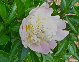 The Glorious Peony