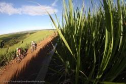 Early morning sugar cane.