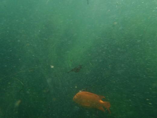 Garibaldi fish, La Jolla Cove.