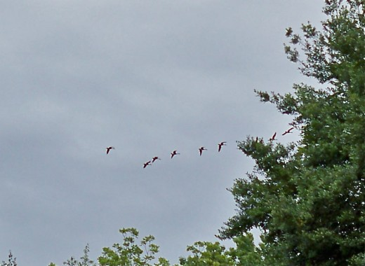 """Geese Headed North For The Hot Summer Singing """"See You Later"""" As They Fly Over Beds Of Evening Primrose"""