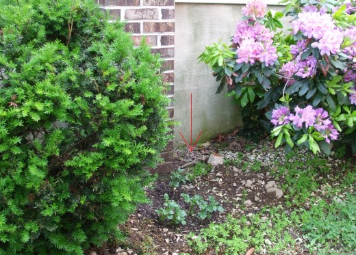 Trim back your shrubs and plant a few potatoes!