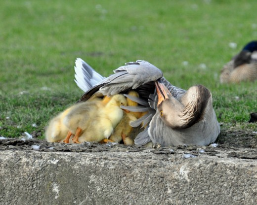 'Standing room only' Chinese goose brooding goslings