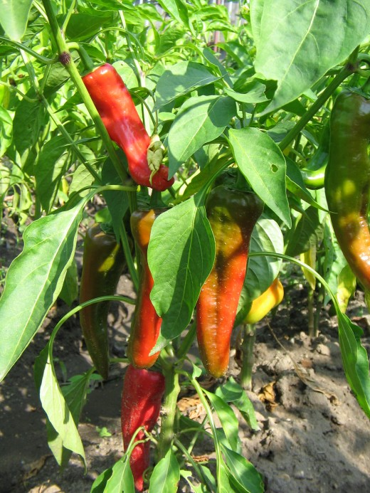 Choose healthy plants for harvesting peppers.