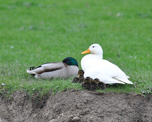 'Smudge' the little white duck with ducklings.  Smudge is a white mallard duck with a single smudge of black on her head