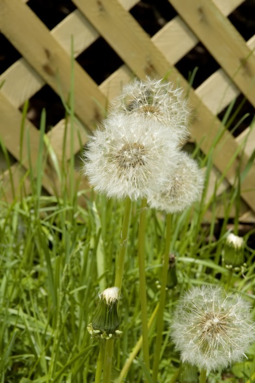 Dandelions are a very common lawn and garden weed.