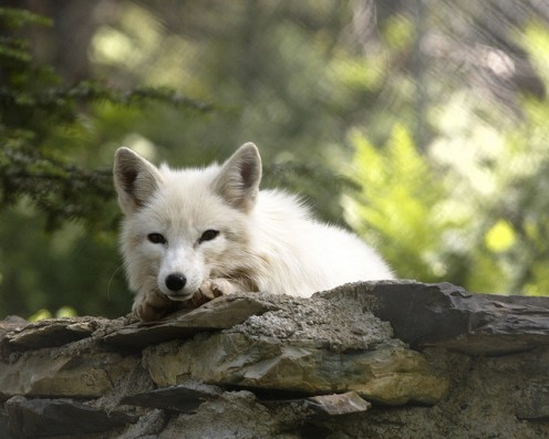 You must have me confused with some other fox. Im the lazy Arctic fox, and I dont jump for anyone.  CCL C