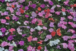 Impatiens add incredible color to a garden, and require a mix of sun and shade.