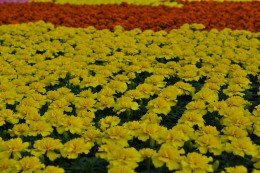Flowers such as marigolds withstand sunnier, drier conditions.