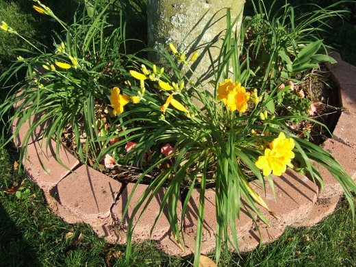 Three Year Old Stella d'oro Day Lilies