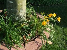 Perennial Lilies that keep giving.