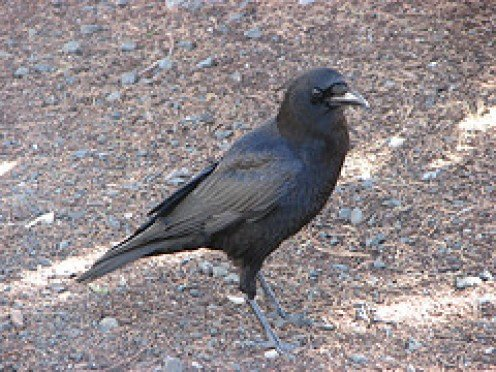 American Crow—The Bird Most People Hate