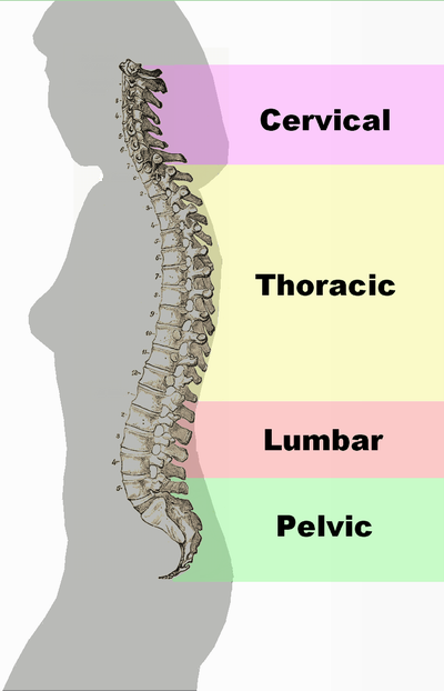 Lordosis can be seen here at the top and bottom of the spine, as it curves into the body. Kyphosis can be seen in the middle part of the spine, where it curves out from the body.