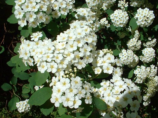 Spirea [close-up] - photo by timorous