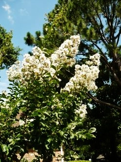 White blooming crape myrtle