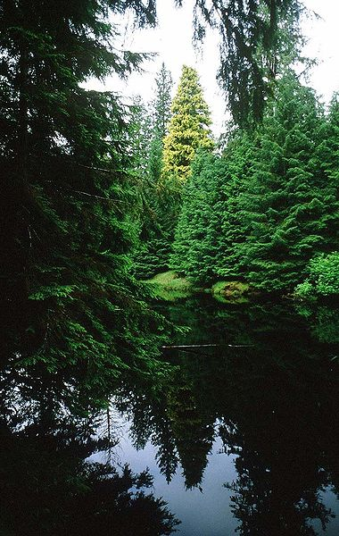The Golden Spruce in the mid-1980s