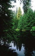 The Queen Charlotte Islands' Golden Spruce - Greed, Madness and Colonization of First Nations