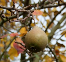 Worcester black pear. Not exactly the kind of pear you want to bite into right off the tree. Too hard!