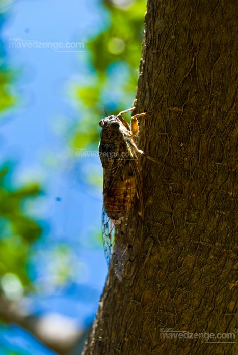 The cicada, found all over Greece