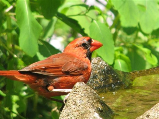A bright red male Northern Cardinal enjoys a drink on a hot day.